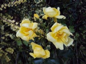Flower Carpet 'Gold'