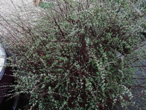 Spirea 'Snowmound' or 'Bridal Wreath'.