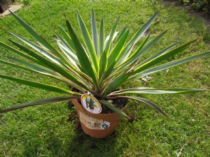 Yucca was €12.99 - down to €3