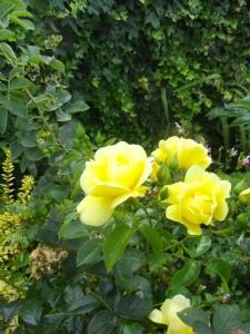Flower Carpet Rose 'Gold'