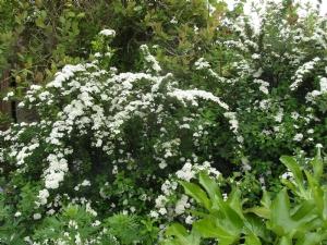 'Snowmound' or 'Bridal Wreath'. No matter