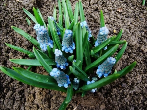 Muscari 'Blue Magic'
