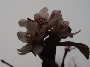 Malus 'Golden Delicious' blossom