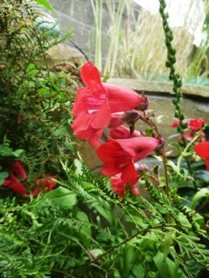 Penstemon 'Raspberry Ripple'