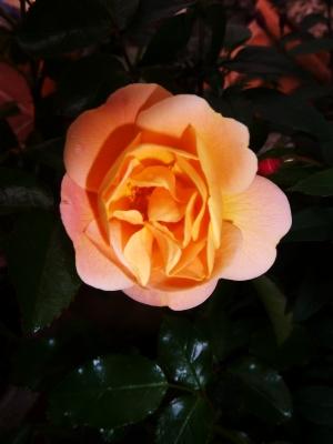 Flower Carpet 'Amber'