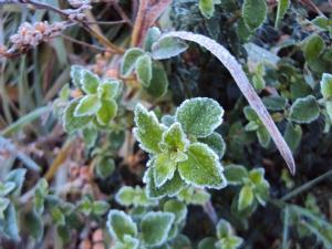 Mitraria coccinea (Mitre Bush) with frost
