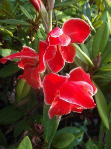 Gladiolus 'Atom'