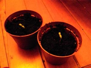 'Alicante' tomato seedlings