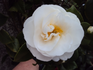 Camellia 'Wisley White' (To die for!)