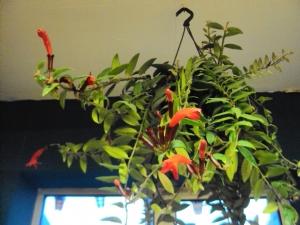 Aeschnyanthus (Lipstick Plant)