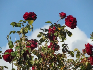 Next-door Neighbours' rose