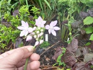 Nectaroscordum sicilum