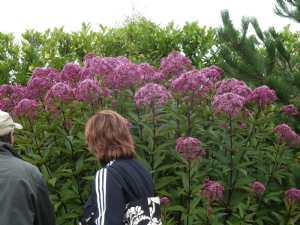 John's Eupatorium (don't know which one)