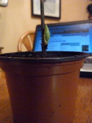 Hydrangea cutting