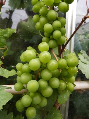 Grapes in my greenhouse