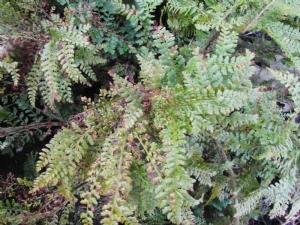 Lovely fern