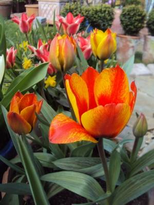 Tulip 'Cape Cod' finally flowers