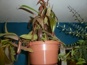 Nepenthes 'Rebecca' doing really well