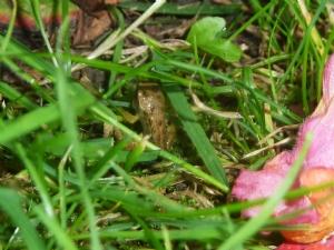 Culchie frog