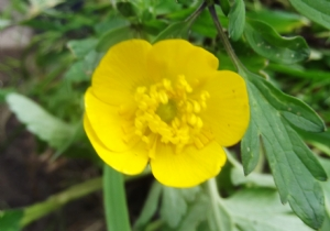 Buttercup for Jackie
