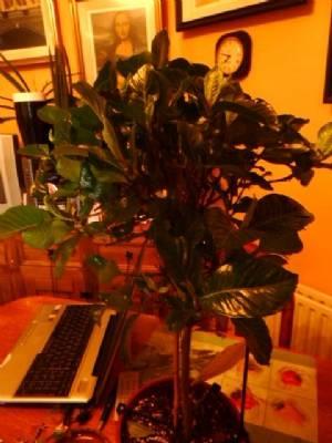 Gardenia 'Kimberly'
