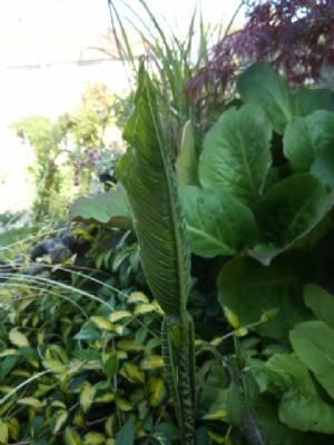 Sauromatum venosum (Voodoo Lily)