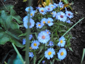 Asters today