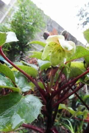 Helleborus argutifolius opens today