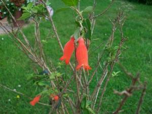 Buried treasure (Mitraria coccinea)