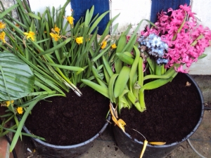 Tete-a-tetes and Hyacinths for next year
