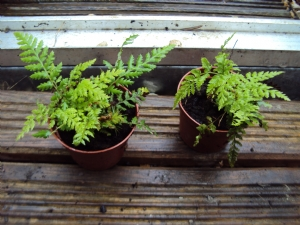 Baby Tree Ferns