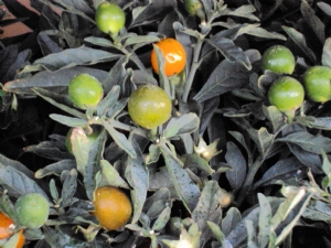 Solanum minus lots of berries
