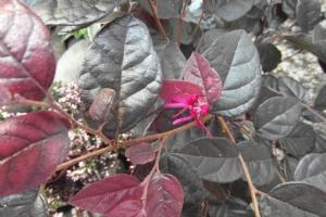 Loropetalum beginning to flower