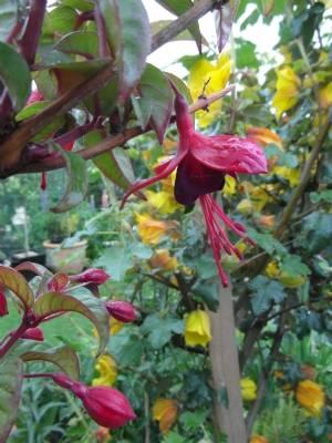 Climbing Fuchsia