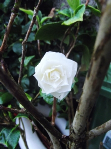 Camellia japonica 'Wisley White' today