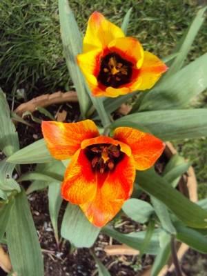 Tulipa 'Cape Cod'