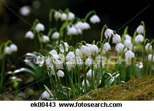 Leucojum (Snowflakes)