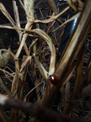 Ladybird on Myrtle's everlasting sweet pea