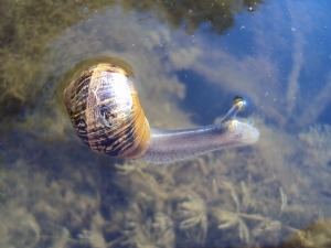 Synchronised Swimming Snail