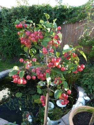 Malus 'Red Sentinel' today