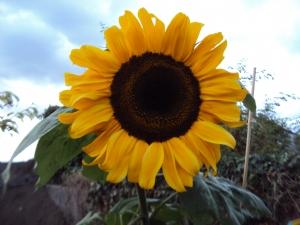 Sunflower 'Tall Russian'