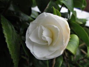 Camellia 'Wisley White'