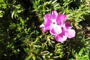 Phlox subulata 'McDaniel's Cushion'