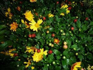Un-named chrysanthemum