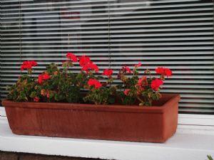 Last years pelargoniums TODAY!