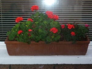 Geraniums in the front