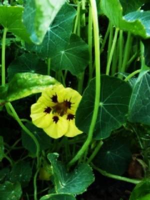 Nasturtium 'Ladybird Mix'
