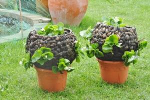 Begonia baskets