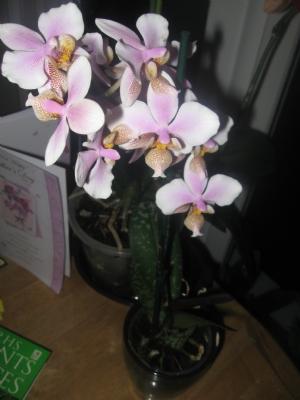 Phalaenopsis Philadelphia (schillerianaXstuartiana)