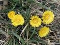 Coltsfoot.